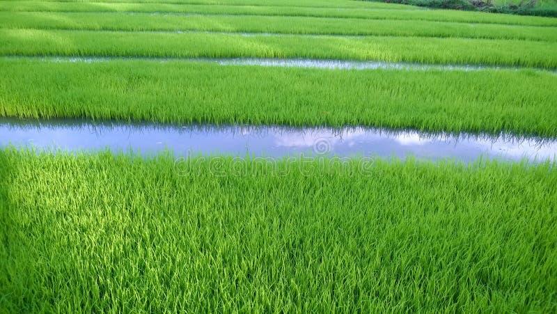 年轻米新芽看法准备好对生长在米领域 免版税库存图片