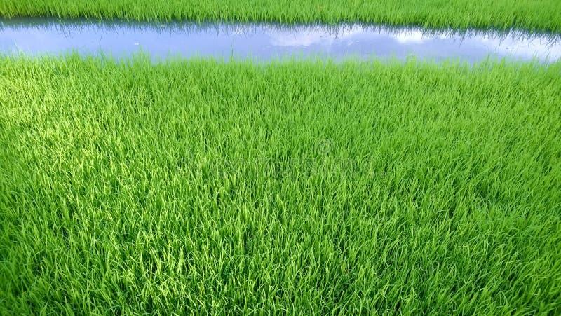 年轻米新芽看法准备好对生长在米领域 免版税库存照片