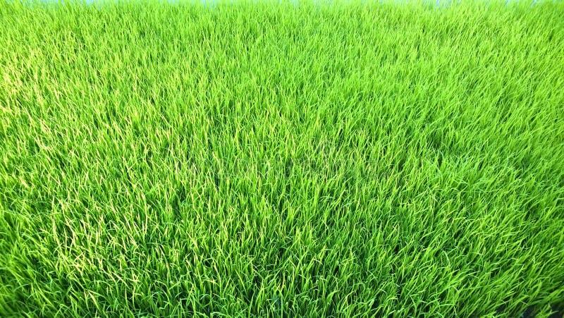 年轻米新芽看法准备好对生长在米领域 库存图片