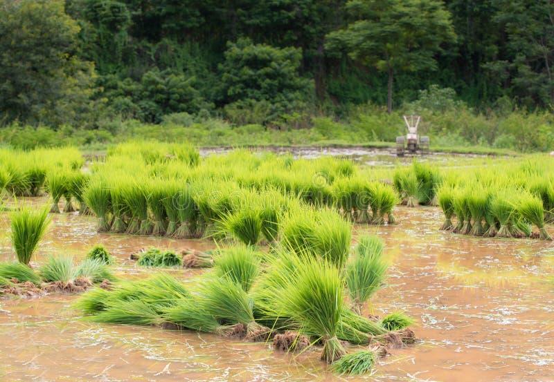 年轻米新芽看法准备好对生长 库存图片