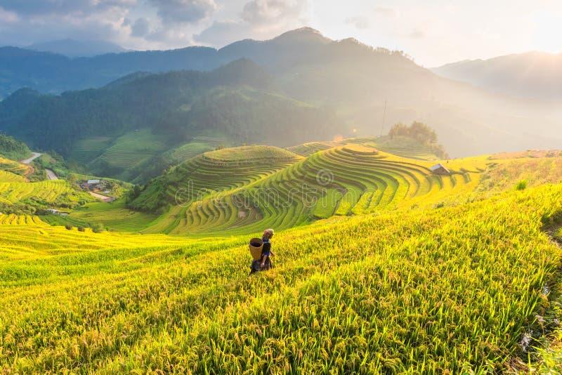 米的农夫在露台调遣越南 米领域准备收获在西北越南风景 库存照片