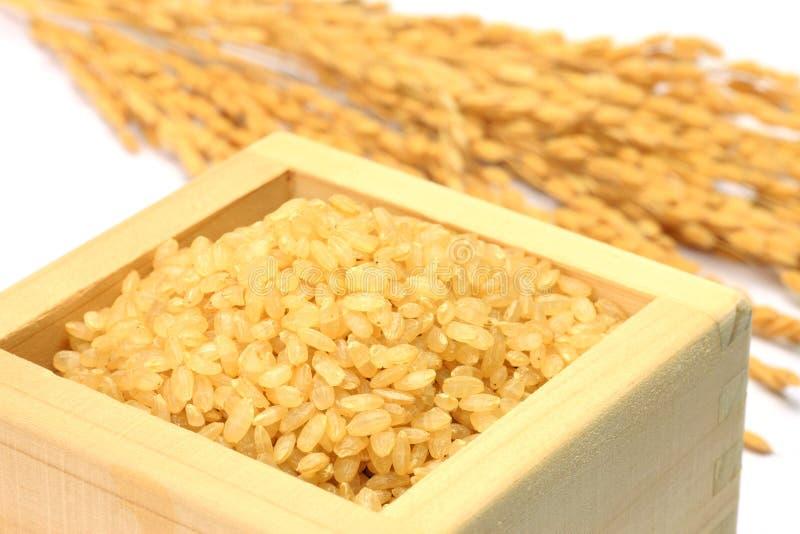 米的发芽的糙米和耳朵 免版税库存图片