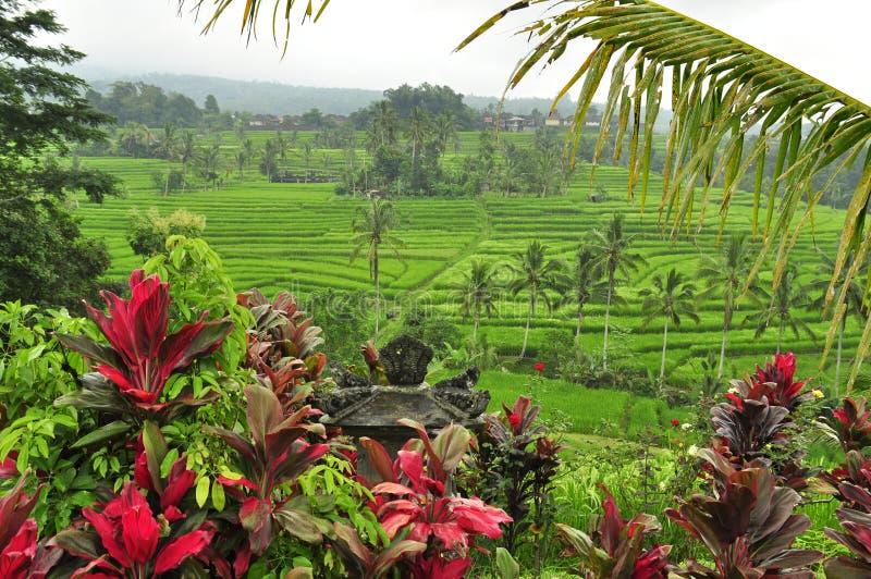 米的令人惊讶的风景在巴厘岛,印度尼西亚调遣 免版税库存图片