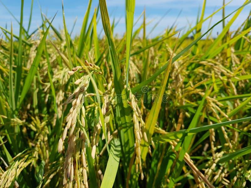 米种子 免版税库存照片
