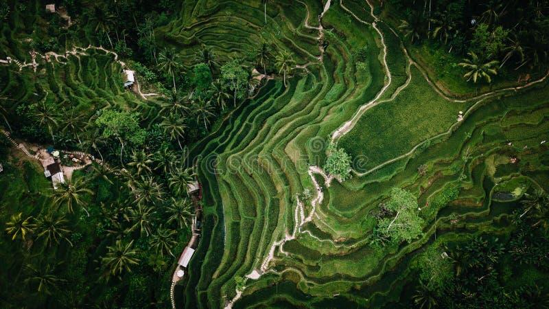 米种植园的空中图片在巴厘岛 免版税图库摄影