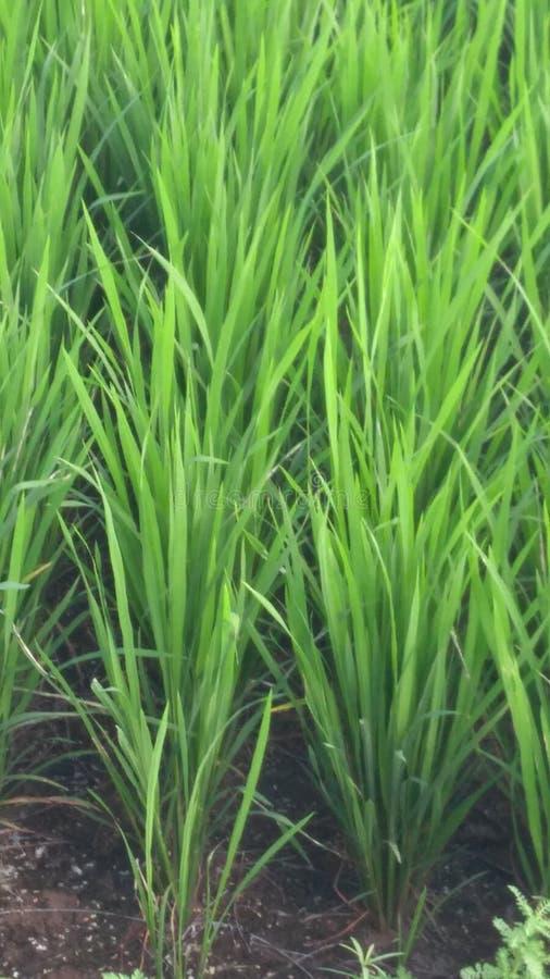 米种植园 图库摄影