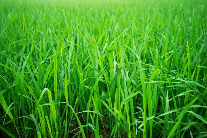 米绿色领域在亚洲 免版税库存图片