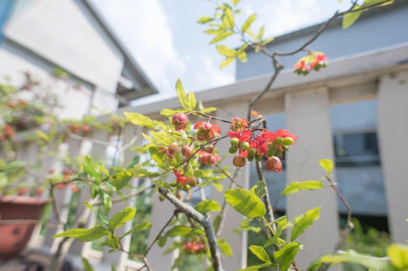 米老鼠树的花和果子 图库摄影