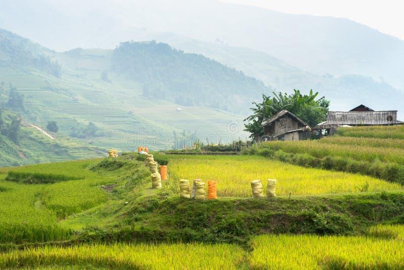 米调遣与袋子在露台的被收获的米Mu Cang柴,安沛市,越南 库存照片