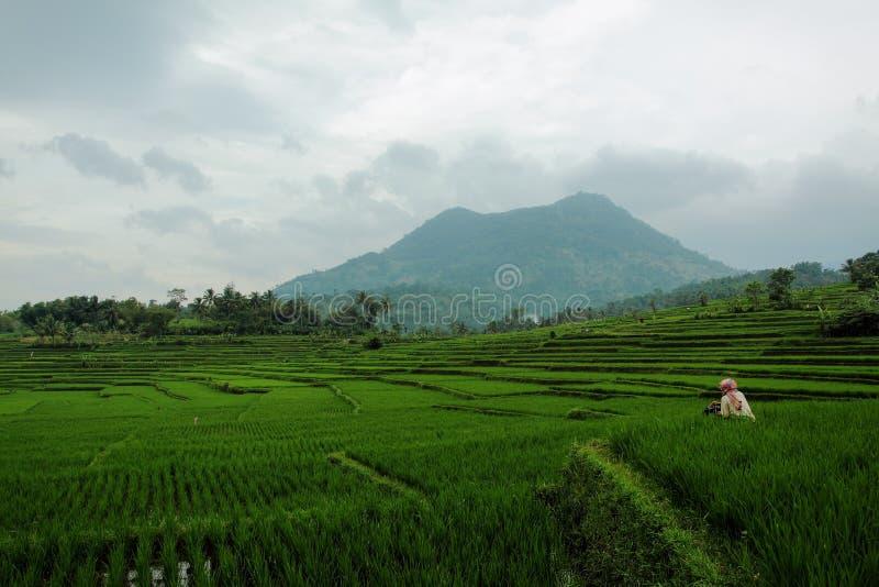 米领域在加鲁特西爪哇省 库存图片
