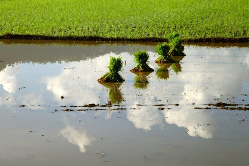 米领域在印度尼西亚 免版税库存图片