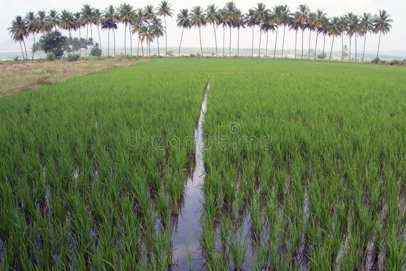 米领域在背景中充斥了与水和棕榈树 免版税库存照片