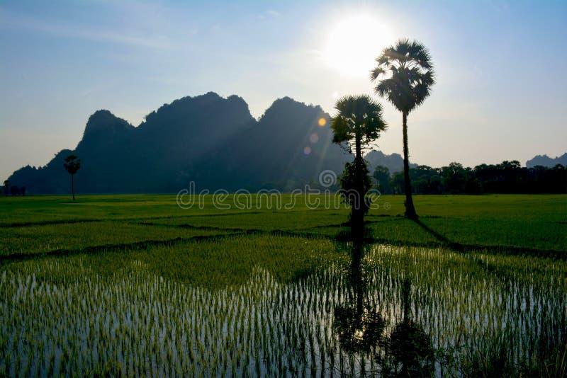 米领域用年轻生长米新芽 Hpa-An,缅甸 库存照片