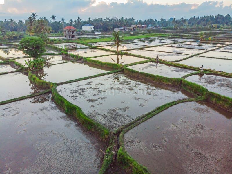 米领域用水充斥 被充斥的稻米 种植在领域的米农业方法  ?? 库存图片