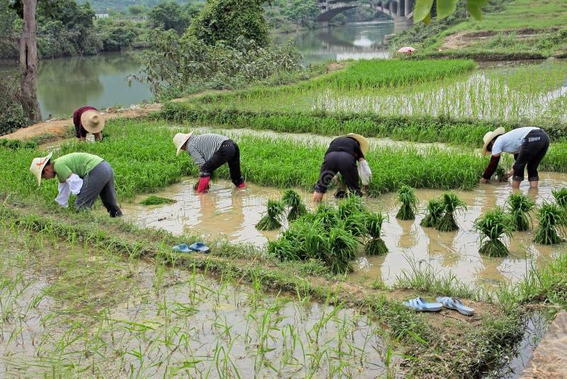 米领域的中国妇女 免版税库存图片