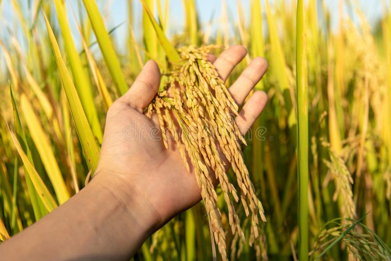 米领域的特写镜头手举行稻黄色粮食作物 库存图片