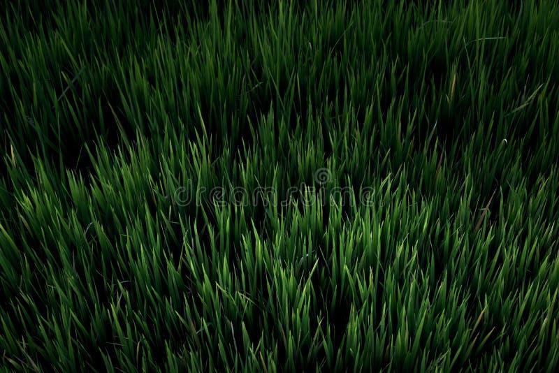 米领域,美丽从顶视图backg的米领域 免版税库存照片