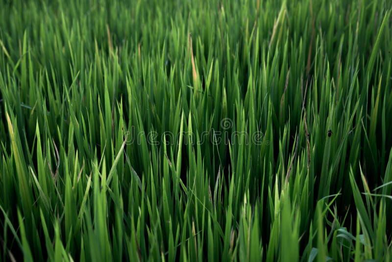 米领域,美丽从顶视图backg的米领域 库存照片