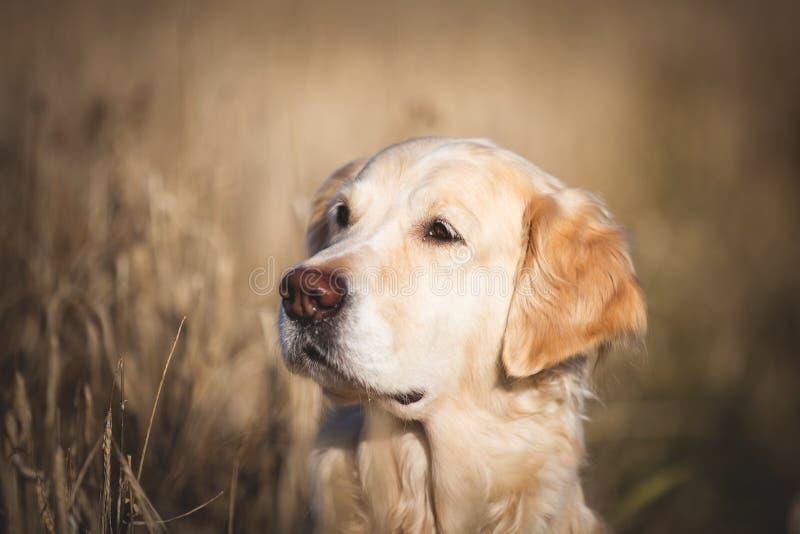 米黄坐在凋枯的黑麦领域的狗品种金毛猎犬外形画象在秋天 图库摄影