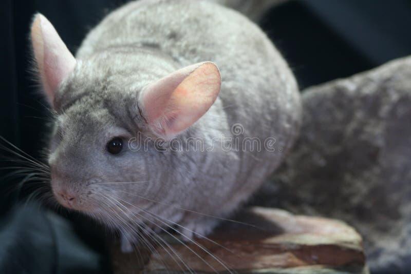 米黄黄鼠 免版税库存图片