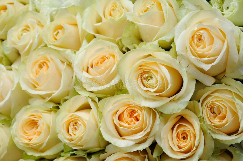 米黄色的玫瑰 免版税库存图片