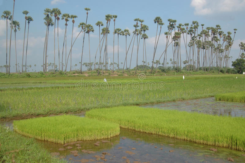 稻米 库存图片