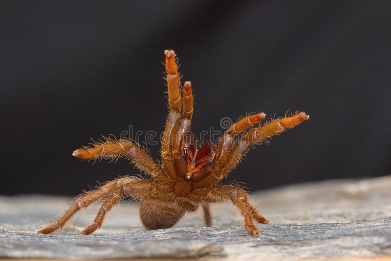 类Heterophroctus的塔兰图拉毒蛛在显示它的犬齿的侵略上升了 图库摄影