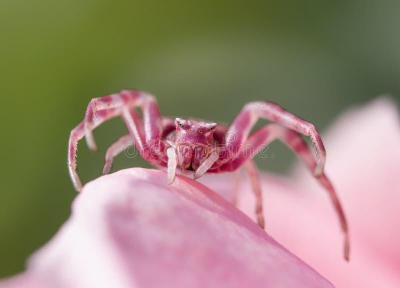 粉叶蟹蛛 库存照片