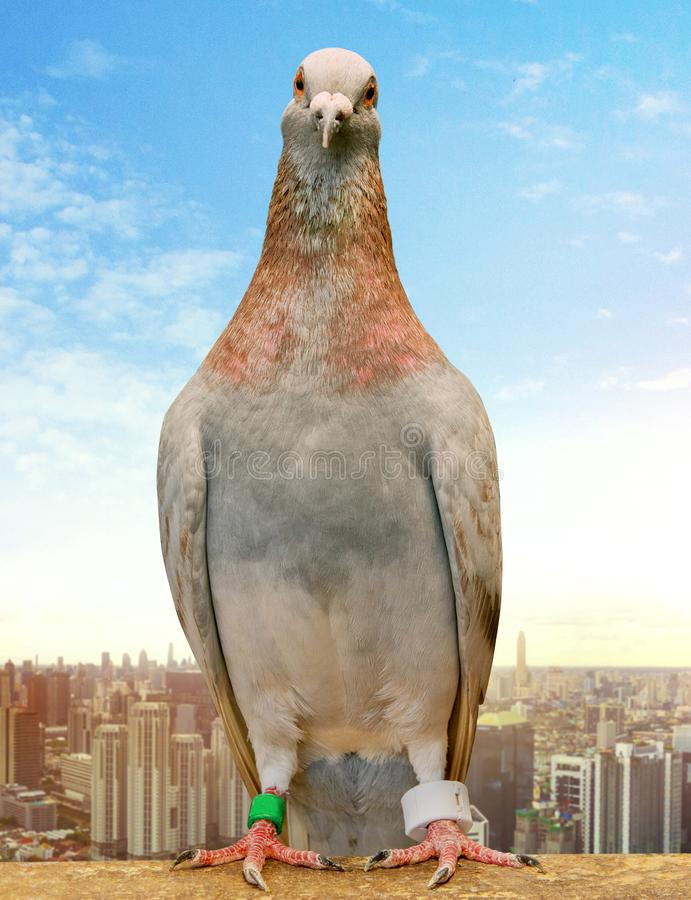 粉性的佩带gps的羽毛赛鸽跟踪替换者反对城市摩天大楼 免版税库存照片