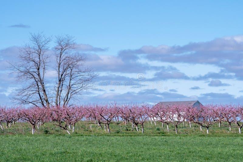 粉红桃园旁的白色谷仓 库存照片