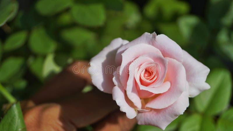 粉红玫瑰半开 免版税库存图片