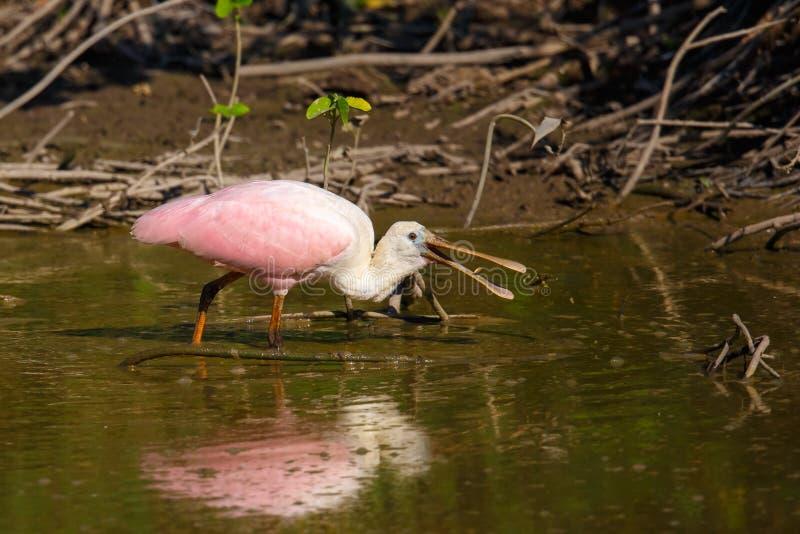 粉红琵鹭哺养,站立在水中 图库摄影