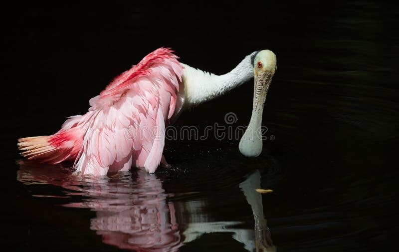 粉红琵鹭在水中 免版税库存照片