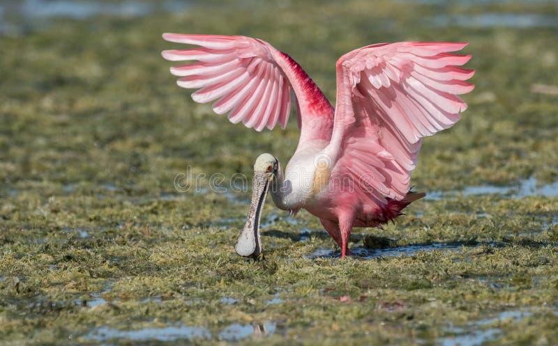 粉红琵鹭在水中 免版税库存图片