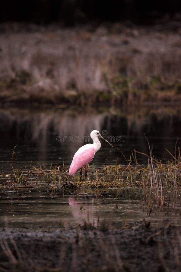 粉红琵鹭水鸟涉水鸟叫Platalea ajaja 免版税库存图片