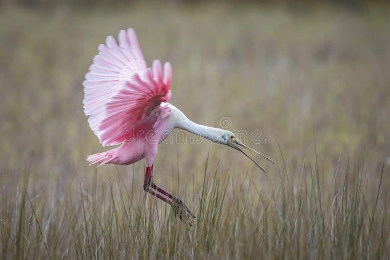 粉红琵鹭着陆在沼泽-佛罗里达 免版税库存照片