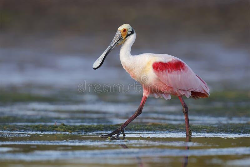 粉红琵鹭趟过在一个浅盐水湖的-皮尼拉斯县, 图库摄影