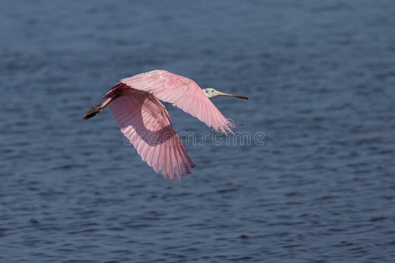 粉红琵鹭飞行在佛罗里达沼泽地 库存照片