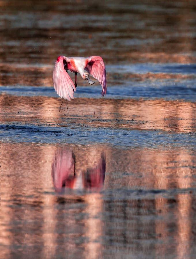 粉红琵鹭飞行在水 库存图片