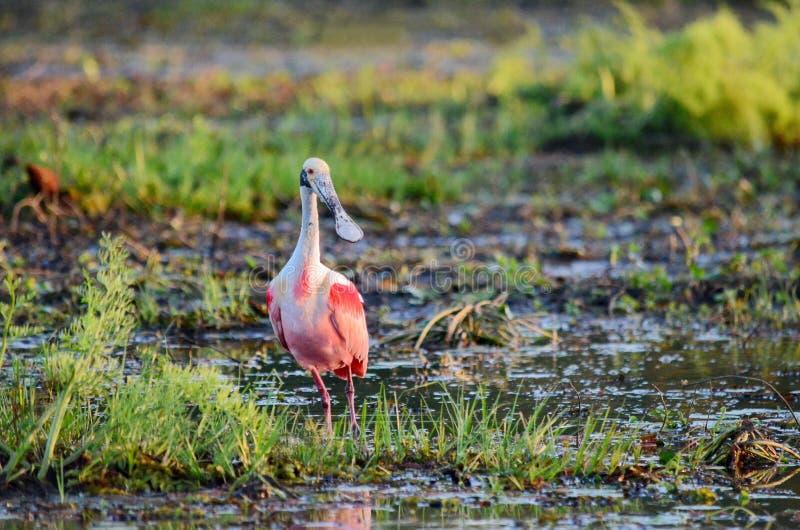 粉红琵鹭 免版税图库摄影