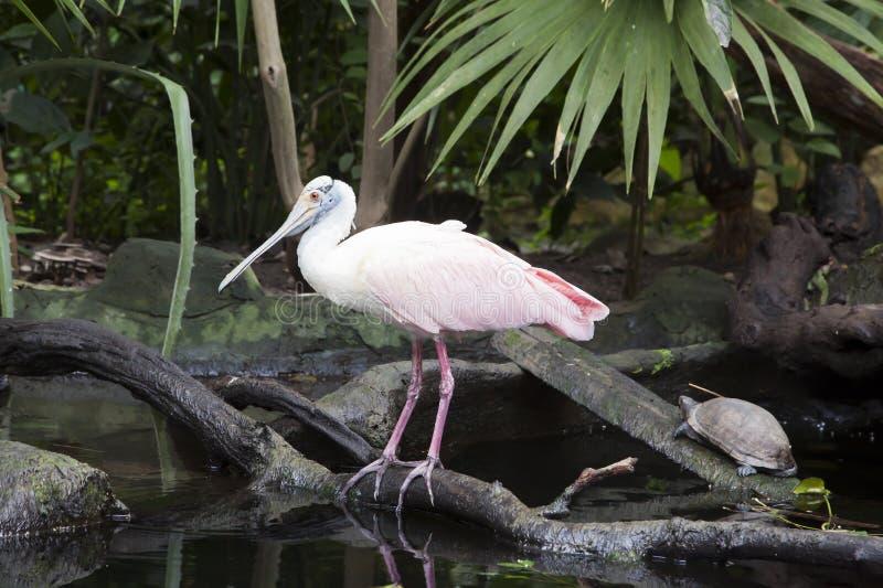 粉红琵鹭 库存照片