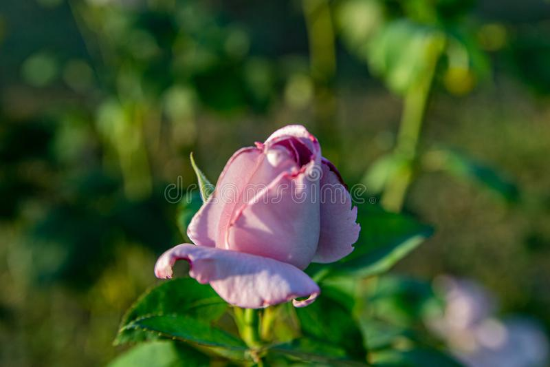 粉红紫色玫瑰绽放在美丽的玫瑰色芽中的玫瑰园里在日落 图库摄影