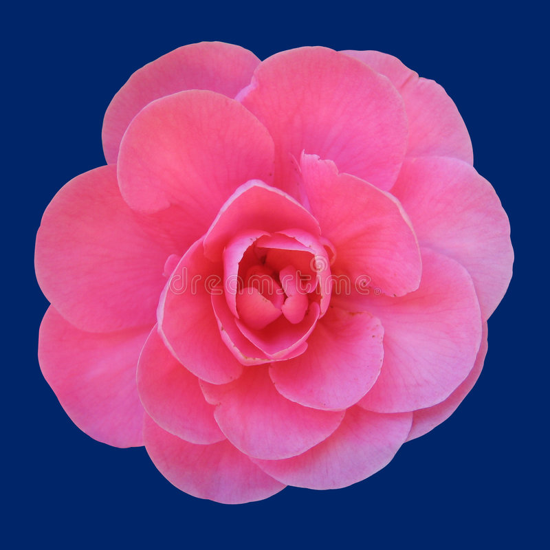 粉红色上升了 图库摄影