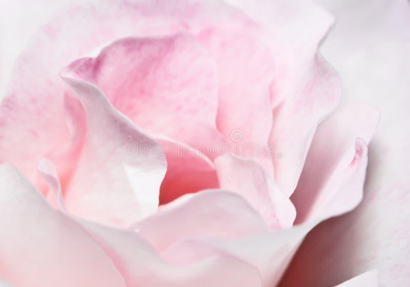 粉红色玫瑰白色 免版税库存照片