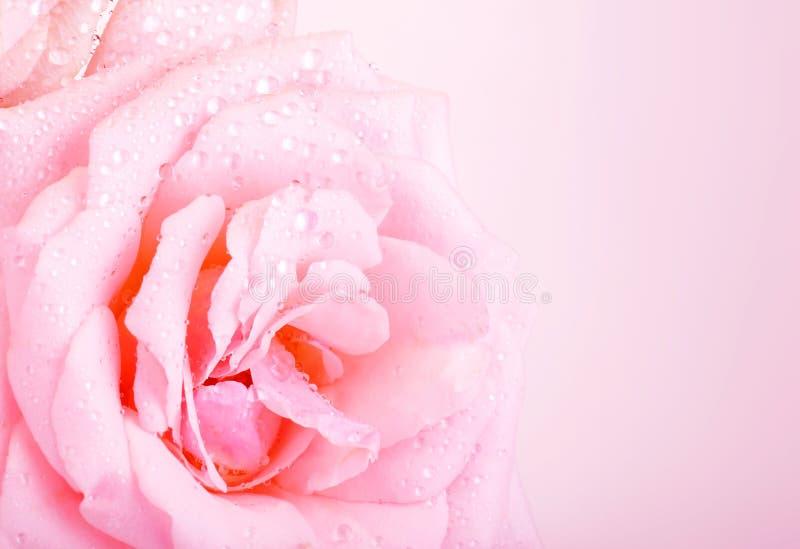 粉红色玫瑰背景 免版税图库摄影