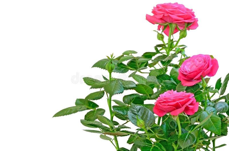 粉红色玫瑰花 免版税图库摄影