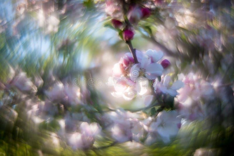 粉红色白苹果树背景 库存照片