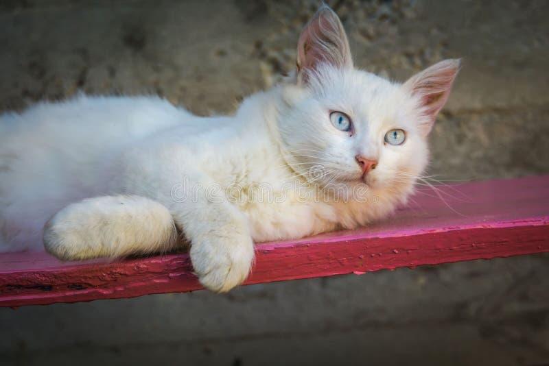 粉色长凳上的白猫 免版税图库摄影