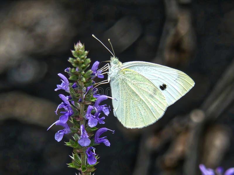 粉蝶蝴蝶 库存图片
