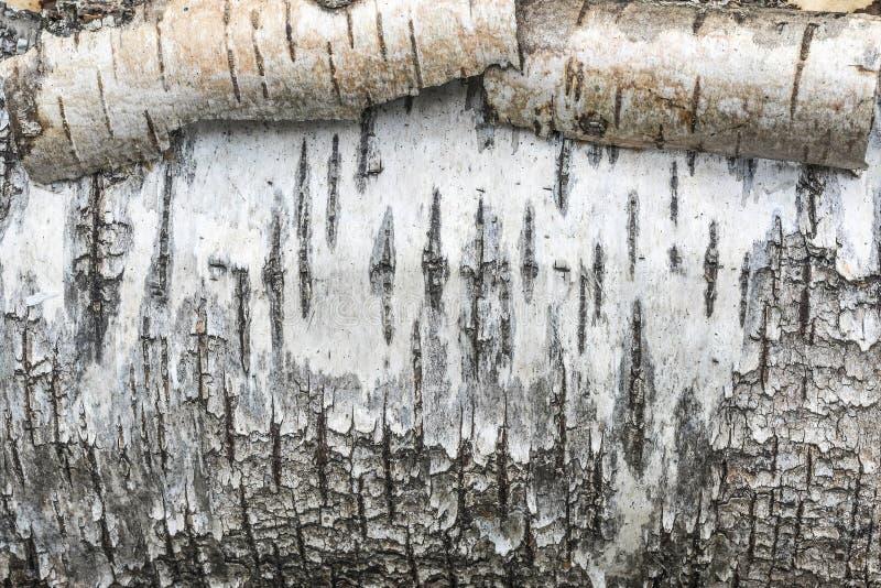 粗砺的纹理白桦树皮,滚动白色树皮,抽象背景 免版税库存照片